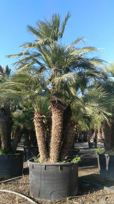 Chamareops Humilis, Vulcano and Cerifera - Several sizes for all palms