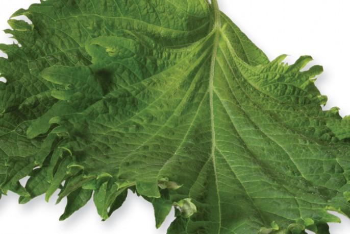Shiso Leaves Green - Micro végétaux