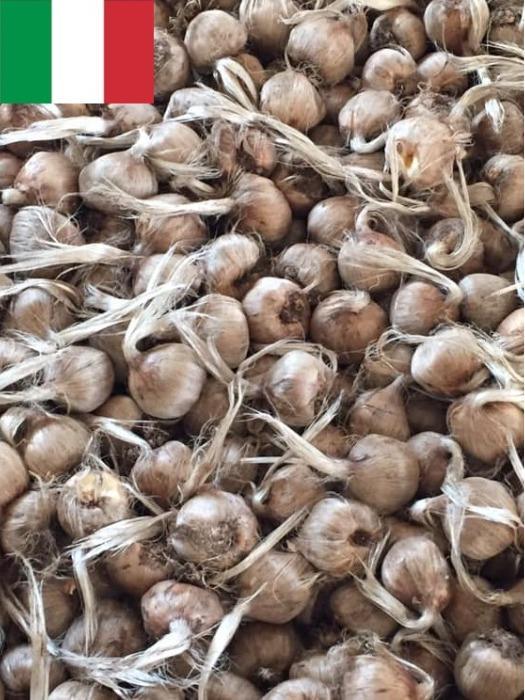 Bulbi di zafferano - Bulbi di zafferano 100% MADE IN ITALY