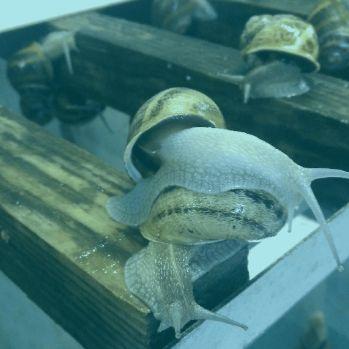 Caracóis reprodutores -