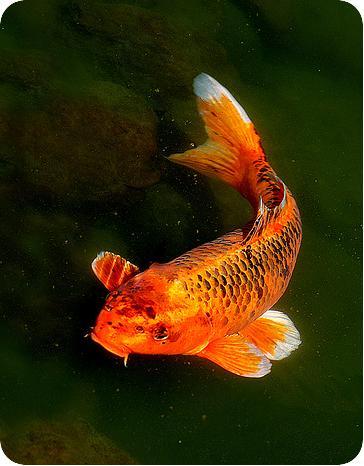 цветные карпы, рыбки для пруда,аквариум,пруд