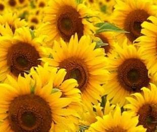 масло подсолнечное sunflower oil