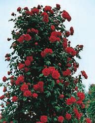 Rosai rampicanti a fiore piccolo - Rosso Intenso