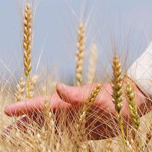 Семена озимых культур