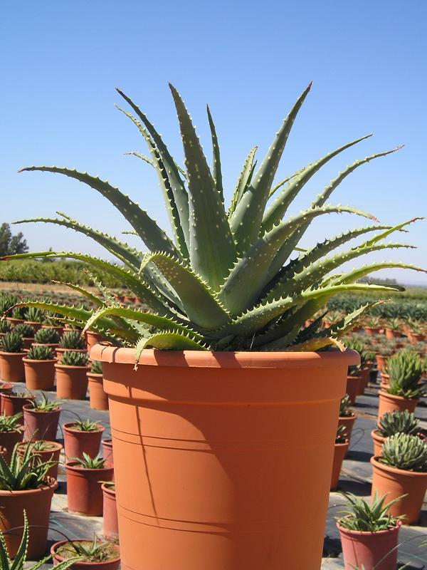 Aloe spinossisima - null
