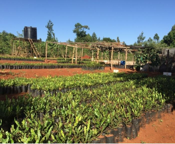 Organic Macadamia Seedlings - directly from the producer