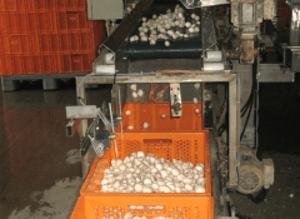 Machines de conditionnement champignons