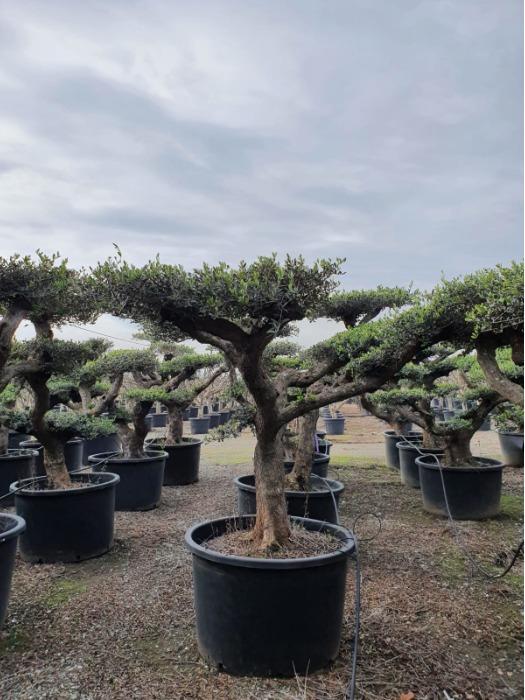 Pom Pom Olive Trees in pot - Several sizes