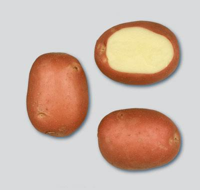 Potatoes - Red skin - MOZART
