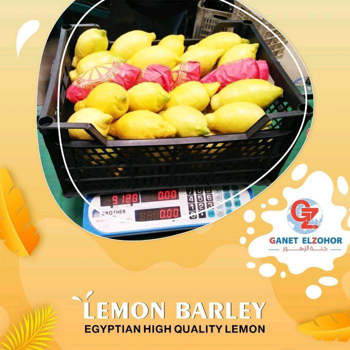 Египетский лимон - ячмень