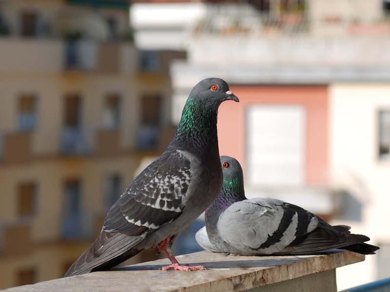 Allontanamento colombi