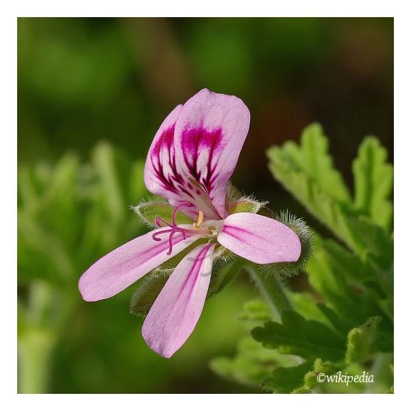 Eau florale de Géranium biologique - Eaux florales