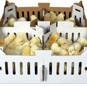 Fondo de caja para la avicultura, Polluelos - PAPELES PARA LA GANADERIA
