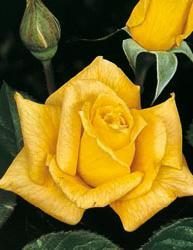 Rosai a grandi fiori - Giallo Limone