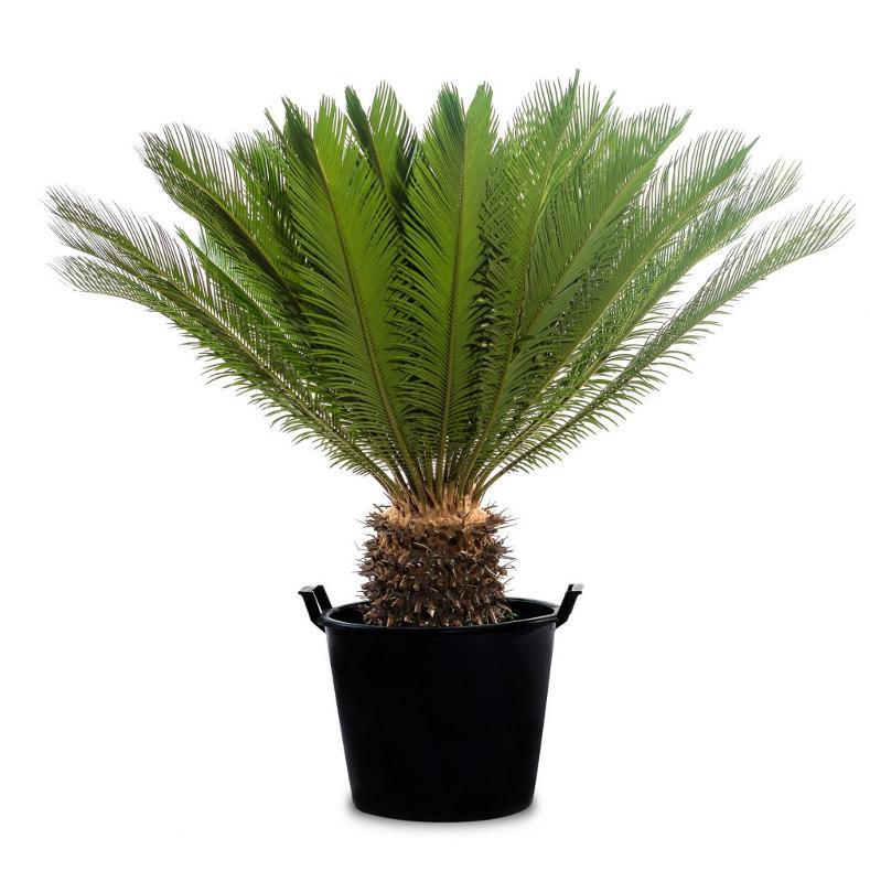 Cycas revoluta - Palme