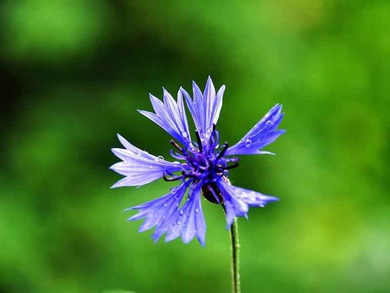 Medicinal plants - Cornflower/petal (flores cyani)