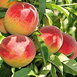 персик - персик происхождение Сербия и Македония