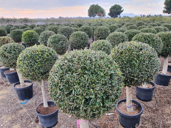 Olive Tree - 20/40 cm  45L