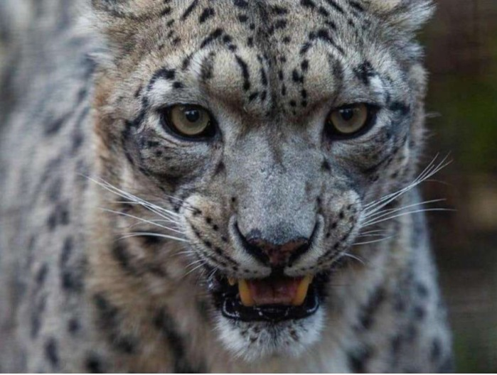Choose a name for Snow Leopard kittens.