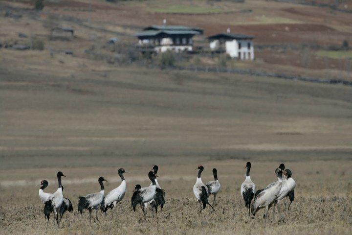 Black Neck Crane in Bhutan