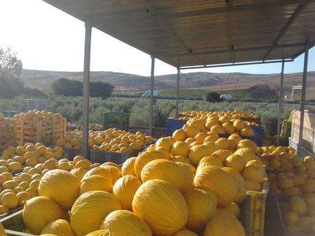 Gialletto, il melone d'inverno raccolto in estate