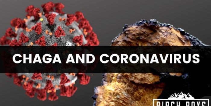 chaga mushroom extract экстракт гриба чага