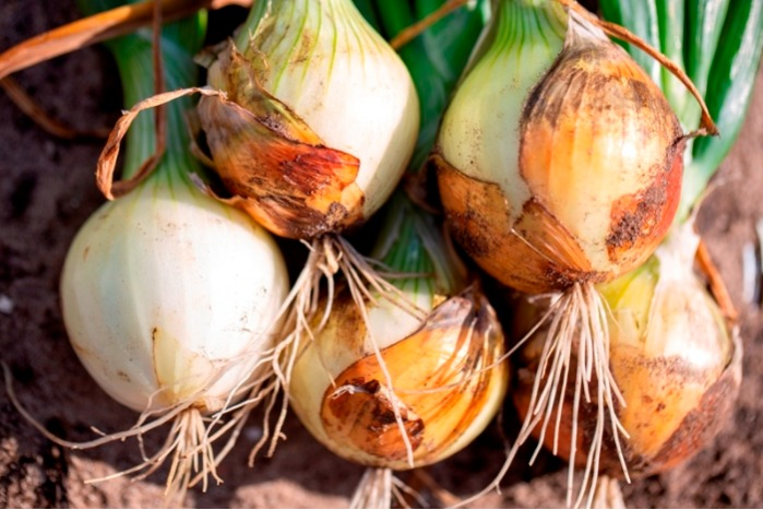TRIAL: BENESTIM RECOVERY ON SOW ONIONS | THE NETHERLANDS