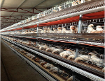 Chicken broiler cages