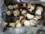 Белый Боровой гриб Boletus pinophilus
