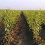 Φυτα ροδακινια δενδρυλλια ροδακινα