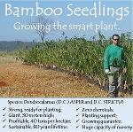 Bamboo Seedlings