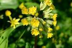 Primrose roots - Primula Veris