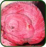 BOIS DE HÔ - Bois de rose