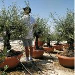 Olive Tree in Deco pots
