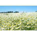 Ромашка лекарственная Chamomilla Flowers