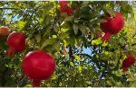 Grenade bio / fruit frais