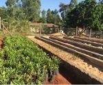 Organic Macadamia Seedlings