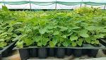 Producem Plante Paulownia