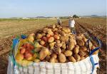Early Potato