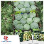 Egyptian  cabbage