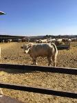 Cattle Charolais, limusin, crosses