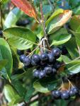 Producem Plante Aronia