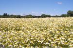 Chamomilla, harvest 2020, Ukraine