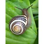 Snail Slime Powder