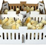 Fondo de caja para la avicultura, Polluelos