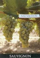 White Grape Varieties