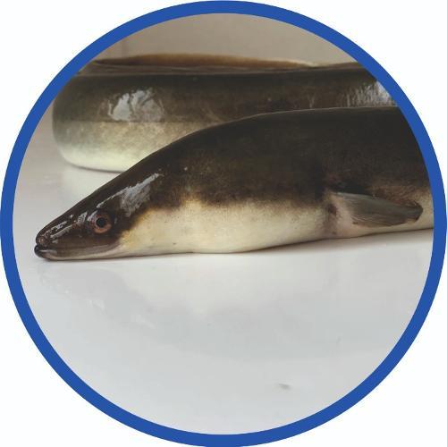 canlı yılan balığı
