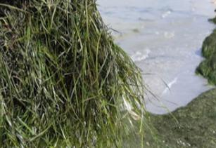 """Эко морские водоросли """"Zostera Marina""""  для жизни и здоровья"""