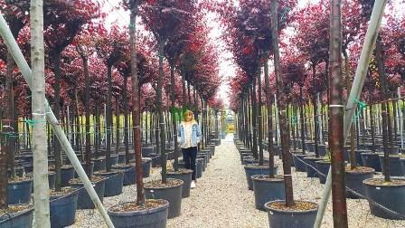 Prunus cerasifera pissardi nigra