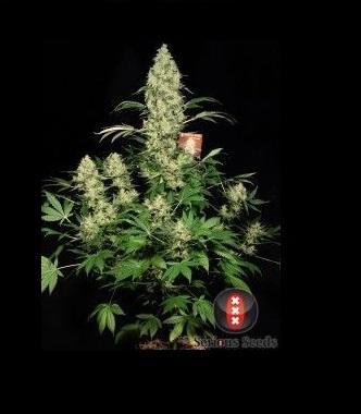 Semillas de marihuana ak 47